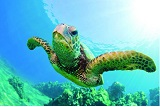Turtle Canyon Snorkeling Tour small