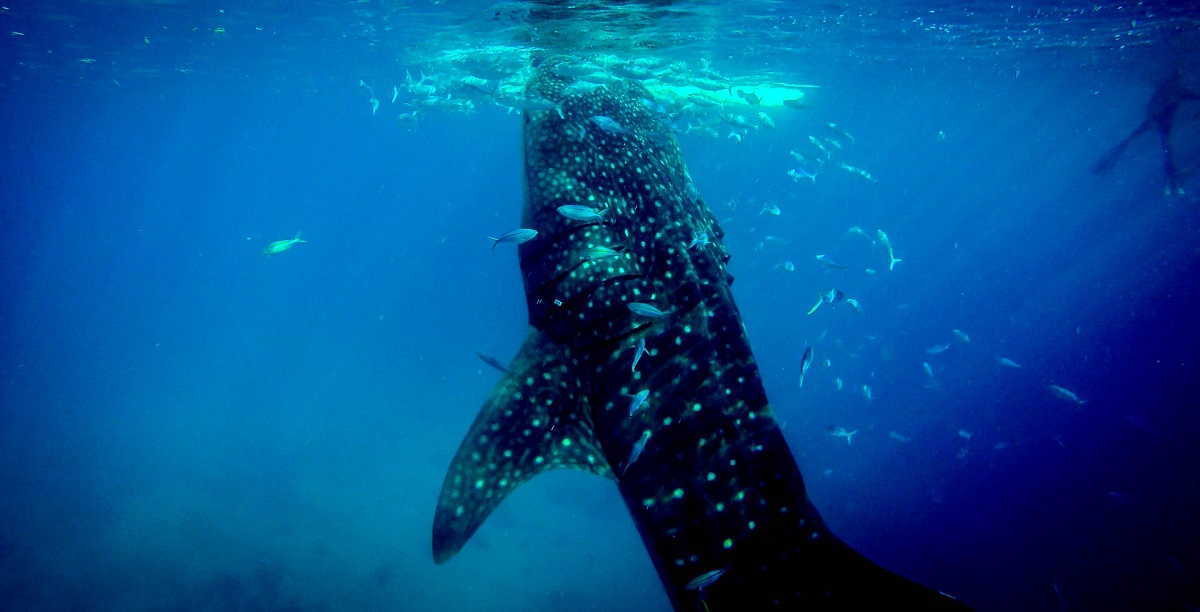 diving with whale-sharks