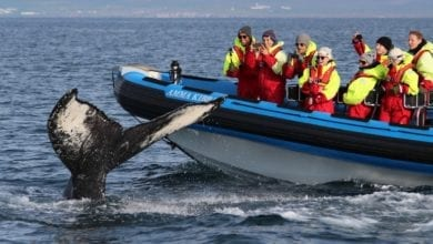 Best Whale Watching Tours in Iceland