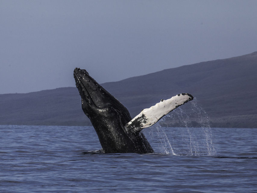maui whale watching tours guide